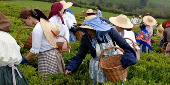 Collect of the leaves from the tea plant - Gastronomic Vacations in São Miguel